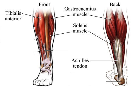 ANKLE-MUSCLES